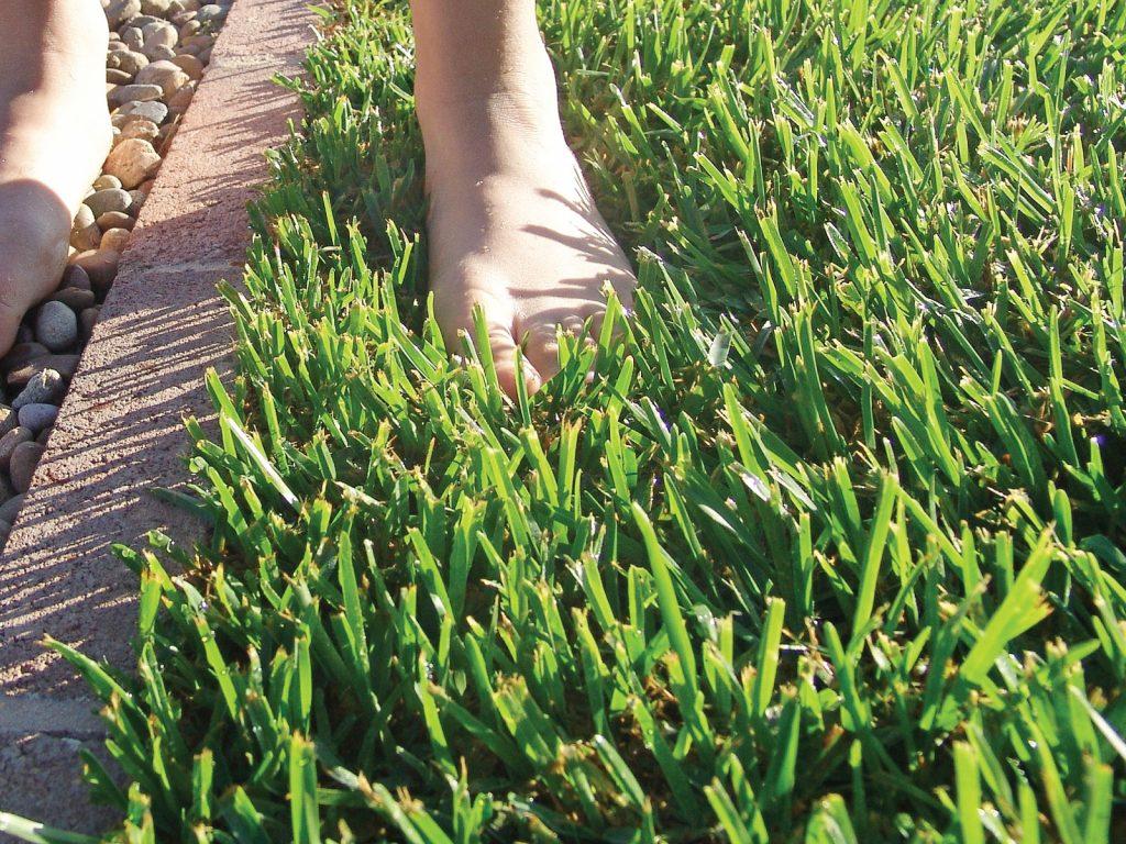 "Image result for soft leaf buffalo grass"""