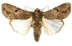 Army Worm Moths