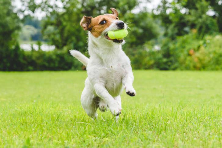 Jack Russel Dog Playing Fetch on Buffalo Lawn