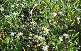 Weeds in Buffalo Lawn