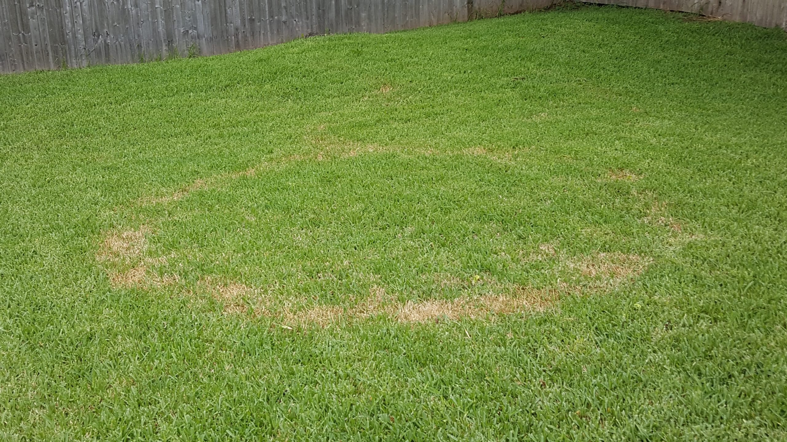 Brown Patch in Buffalo Lawn