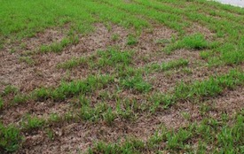 Lawn Damage Caused by Army Worms