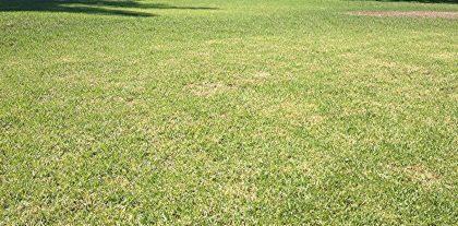 yellowing lawn