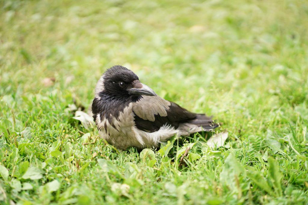 birds in lawn