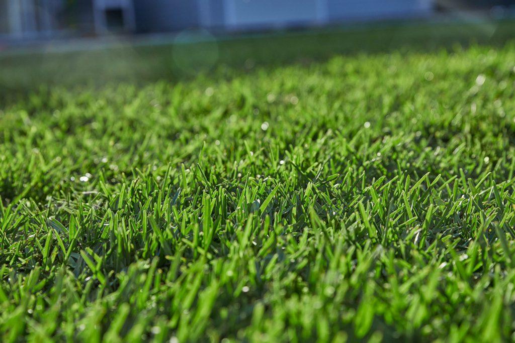 Close Up Shot of Sapphire Buffalo Grass