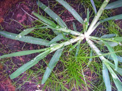 Crowsfoot Grass