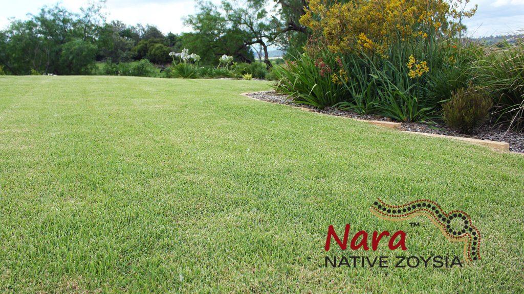 Nara Zoysia Lawn in Sydney NSW